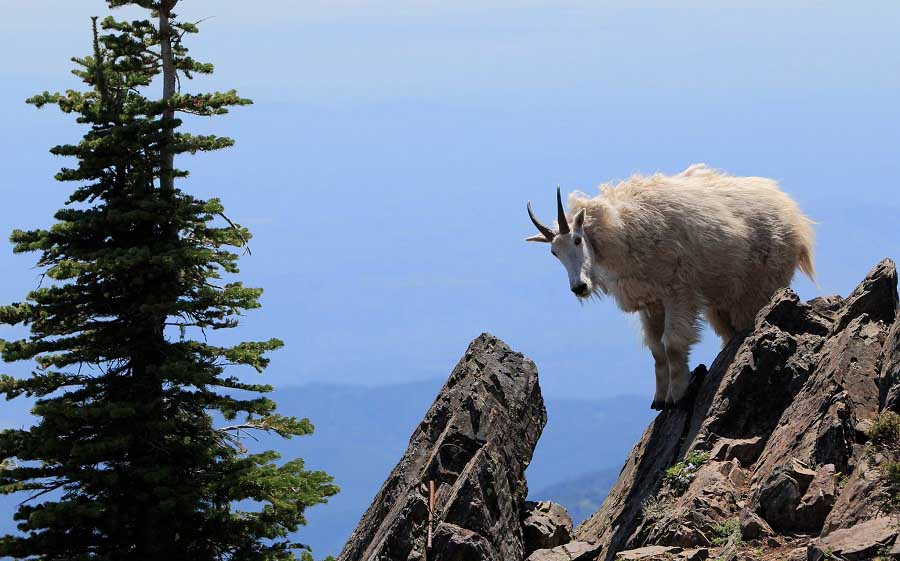 Mountain goat in the Olympic Mountains