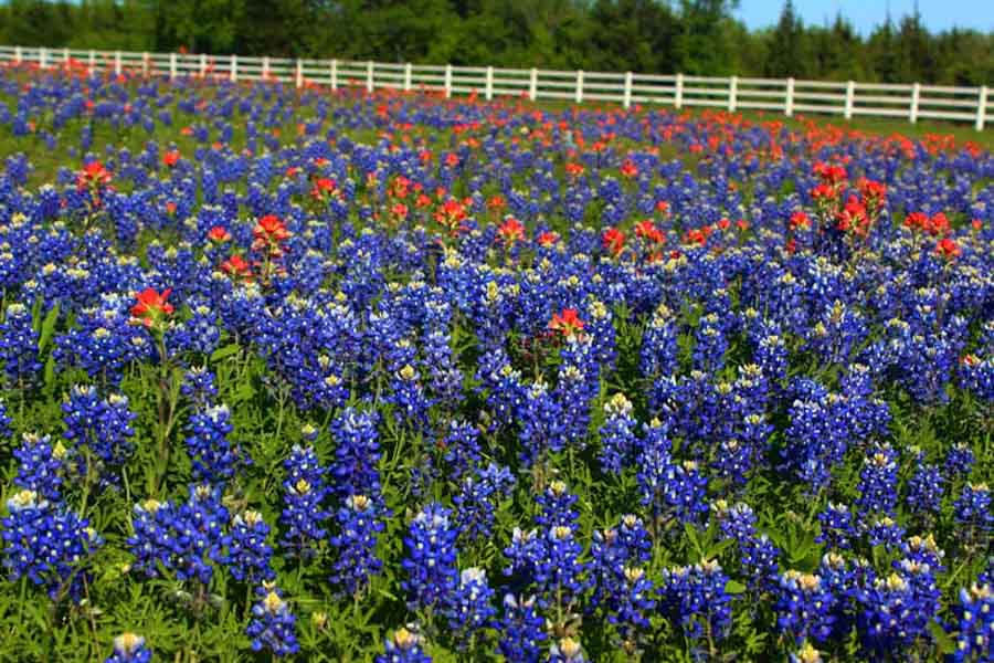 Blue bonnets wildflowers of Texas